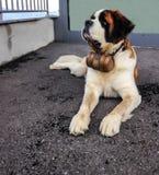 与偶象桶的圣伯纳德狗 圣伯纳德是非常从西部阿尔卑斯欧洲的大工作犬品种  库存照片