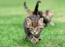 与兄弟姐妹的剧烈平纹小猫 库存照片