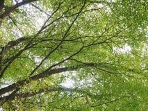 与充分的叶子的美好的绿色terminalia ivorensis分支 免版税图库摄影