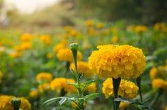与光的万寿菊从太阳白天 图库摄影