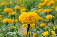 与光的万寿菊从太阳白天 库存图片