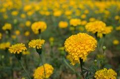 与光的万寿菊从太阳白天 免版税库存图片