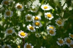 与光的雏菊 免版税图库摄影