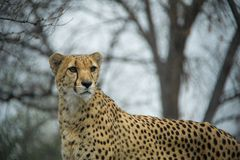 与光秃的树的猎豹在背景中 免版税库存照片