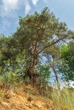 与光秃的根的杉树增长在沙子小山顶部在森林里 免版税图库摄影