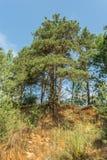 与光秃的根的杉树增长在沙子小山顶部在森林里 库存照片