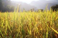 与光芒光的水稻 库存照片
