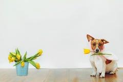 与兔宝宝耳朵的逗人喜爱的狗在他的在光的牙郁金香花举行 免版税库存图片