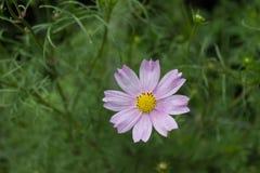 与八个瓣的一朵唯一明亮的浅粉红色的波斯菊花和在一个词根的一个黄色中心在盛开在庭院机智的夏天 库存照片