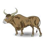老公牛 免版税库存照片