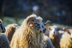 与公羊品种- valaska的绵羊牧群 图库摄影