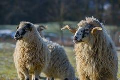 与公羊品种- valaska的绵羊牧群 免版税库存照片