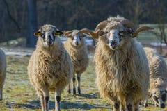 与公羊品种- valaska的绵羊牧群 免版税图库摄影