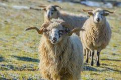与公羊品种- valaska的绵羊牧群 库存照片