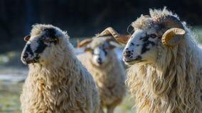 与公羊品种- valaska的绵羊牧群 库存图片