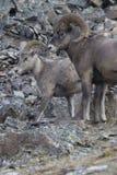 与公羊的2只大角野绵羊在反对岩石倾斜的保护者姿态 库存照片