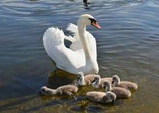 与六刚孵出的雏的白色天鹅,海德公园,伦敦 库存图片