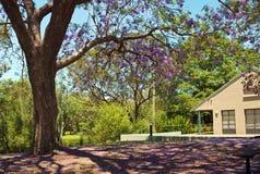 与兰花楹属植物树的Parkland 库存图片