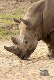 与其顶头最近的犀牛陆运 免版税库存照片