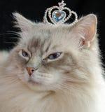 与冠的Ragdoll猫 库存照片
