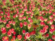 与冠皇家的桃红色郁金香在庭院里 库存图片