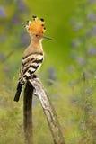 与冠戴胜, Upupa epops的好的鸟,坐在紫罗兰色花 免版税库存图片