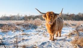 与冬天毛皮和长的垫铁的红色高地母牛 免版税库存照片