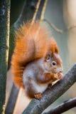 与冬天毛皮的蓬松红松鼠 免版税库存图片