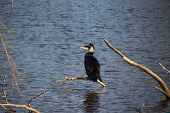 与冬天毛皮的鸬鹚坐在一个水池上的枝杈在艾瑟尔河畔卡佩勒 免版税图库摄影