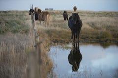 与冰岛的美丽和分蘖性鬃毛的马 免版税库存图片