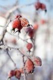 与冰柱和雪的狗玫瑰色浆果,在冬天 库存图片