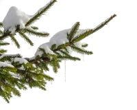 与冰柱的积雪的冷杉分支在白色背景 免版税库存照片