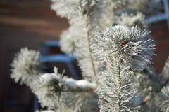 与冰的毛皮树分支 图库摄影