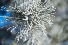 与冰的毛皮树分支 库存图片