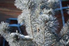 与冰的毛皮树分支 免版税库存照片