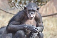 与冰10的黑猩猩 免版税图库摄影