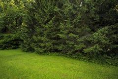 与冷杉木的森林风景 免版税库存图片