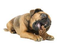 与冷杉锥体的狗 库存图片