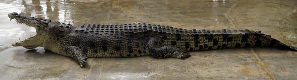 与准备好开放的嘴的一条巨大的鳄鱼咬住牺牲者 免版税库存照片