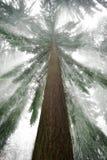 与凉快的光线的云杉的树在冬天 免版税库存照片