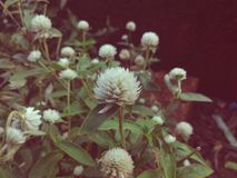 与凉快的点击美丽的白花的乡情 免版税库存照片
