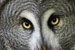 与凝视的目光的巨大灰色猫头鹰 免版税库存照片