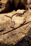 与几朵柔荑花的老树桩 库存图片