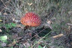 与凸面半球形的形状盖帽的伞形毒蕈muscaria和微小的乐趣 库存照片