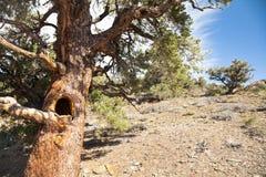 与凹陷的树在杜松和杉木森林里 免版税库存照片