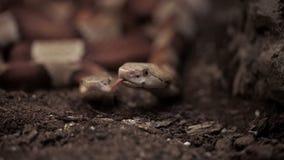 与分叉的牙的两条蛇嗅空气的 股票视频