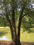 与分开的树干的树 免版税库存照片