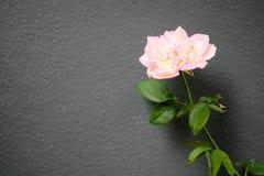 与分支和绿色叶子的桃红色玫瑰 免版税库存照片