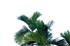 与分支的热带棕榈叶在白色被隔绝的背景 免版税库存图片