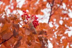 与分支的美好的秋天背景狂放ashberry 启发自然 o 库存照片